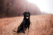 Labrador Dog Breed In The Autu...