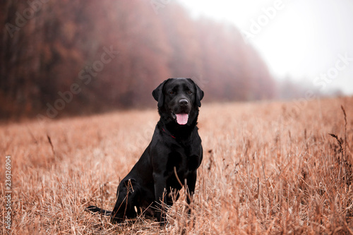 Labrador dog breed in the autumn forest Canvas Print