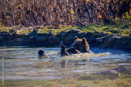 Fotografie, Obraz  European brown bear (Ursus arctos arctos) enjoying a bath
