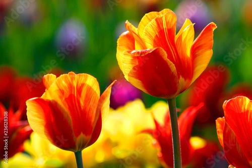 In de dag Tulp Blooming Botanical Tulip flowers - Tulipa - in spring season in a botanical garden