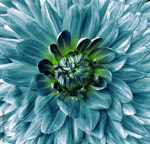 turquoise flower dahlia. Flower isolated on black background. For design. Closeup. Clearer focus. Nature.