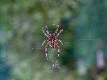 Garden Spider On A Web Waiting...