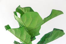 Fiddle Leaf Fig Tree On White Background.