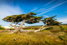 Two Wind Swept Trees Reside Among The Wild Grass In The Sandy Soil Of The Monterey Coast.