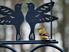 An American Goldfinch (Spinus ...
