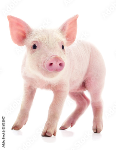Small pink pig isolated. Canvas Print