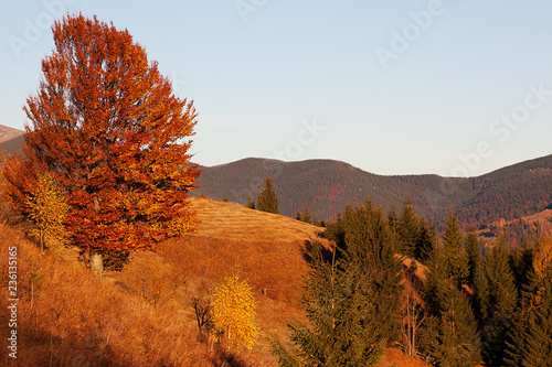Aluminium Prints Autumn Fantastic sunny day in the mountains - view of autumn forest and in the Carpathians