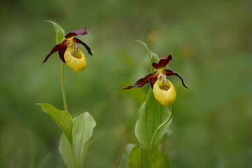 Cypripedium calceolus - lady's-slipper orchid