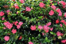 Beautiful Red Ixora Flowers On...