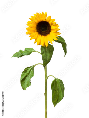 Sunflower flower on white background