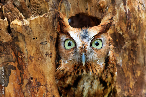 Valokuva  Eastern Screech Owl Perched in a Hole in a Tree