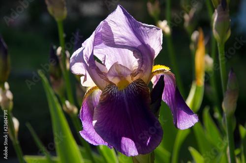 iris in the garden