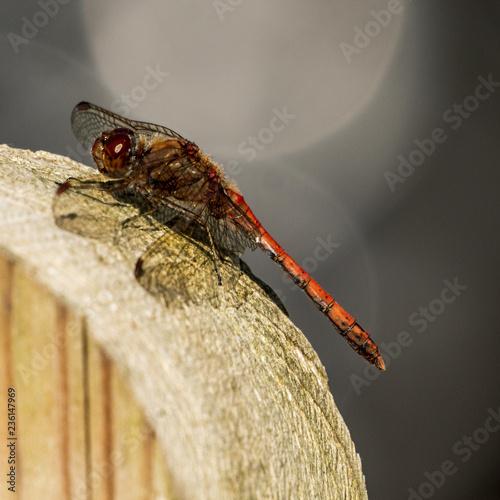 Fotografie, Obraz  The Red Veined Darter  (Sympetrum fonscolombii) At Rest
