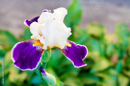 Iris cultivar flower closeup on green garden background