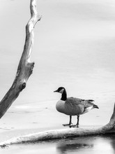 A Black And White Wildlife Photograph Of A Single Canadian Goose As It Stands On A Frozen Pond Near A Bare Tree Branch Protruding From The Ice In Winter In Wisconsin.