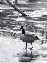 A Single Canadian Goose Stands On The Frozen Pond Near A Bare Tree Branch Protruding From The Ice In The Background Beyond In The Winter Season In Wisconsin.