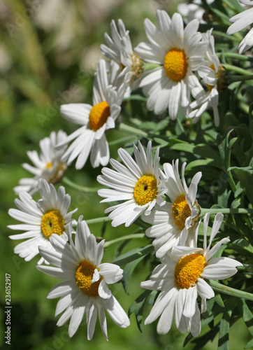 Anthemis Argyranthemum frutescens