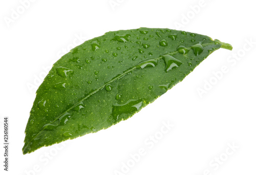 Fresh green citrus leaf with water drops on white background