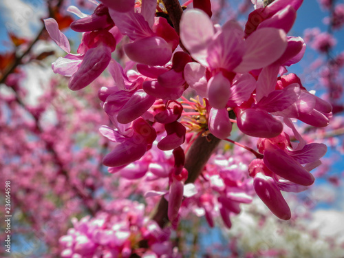 Fotografie, Obraz  Purple spring blossom of  Eastern Redbud or  Eastern Redbud in sunny garden