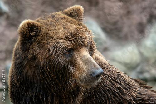 Front view of brown bear. Portrait of Kamchatka bear (Ursus arctos beringianus)