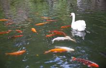 White Swan And Carp