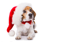 Adult Beagle Dog With Santa Ha...