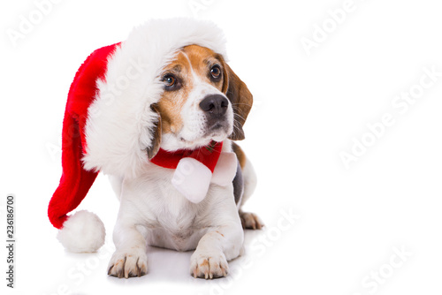 Stampa su Tela Adult beagle dog with santa hat lying  isolated on white background and looking