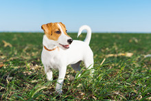 Cute Dog Terrier Jack Russell Playful On A Walk In The Summer In The Meadow