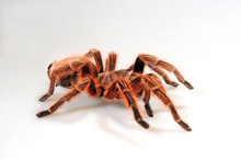 Rote Chile-Vogelspinne (Grammo...