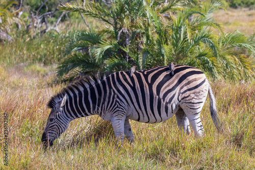 Tuinposter Zebra Zebra 9