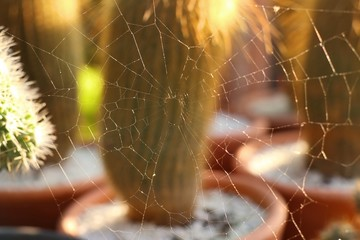 spider webs on cactus