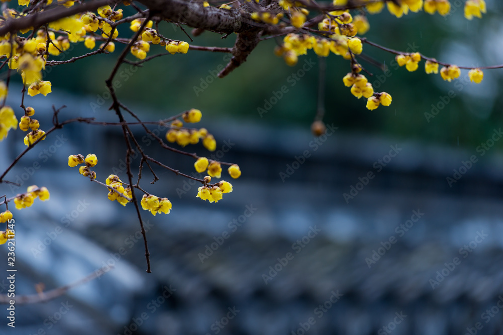 Fototapety, obrazy: Springtime blooming plum blossoms