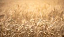 Harvest Season Golden Wheat Field