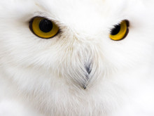 The Snowy Owl (Bubo Scandiacus...