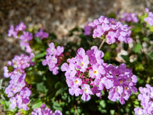 Flowering Low Rise Shrub Of La...