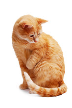 Wary Ginger Cat Sitting And Looking Aside And Down Isolated On White Background