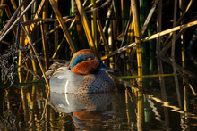 Green-winged Teal, Seen In A N...