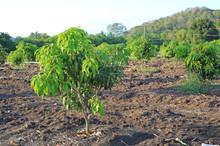 Growing Mango Field In Valley ...