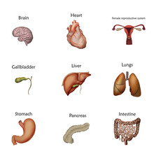 Human Internal Organs Anatomy. Brain, Heart, Uterus, Female Reproductive System, Gallbladder, Liver, Lungs, Stomach, Intestine. Realistic Vector Medical Illustration.