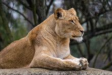 Side View Of A Lion Sitting On A Rock