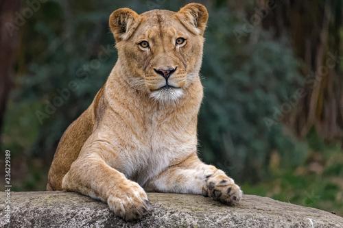 Obraz na płótnie Lioness sitting on a rock