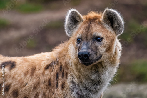 Spoed Foto op Canvas Hyena Close up of a spotted hyena