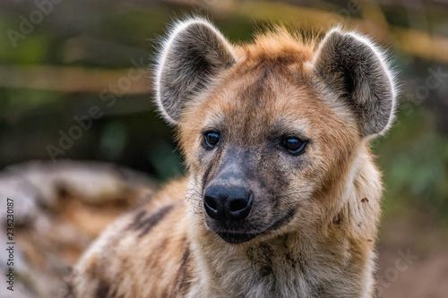 Obraz na plátne Close up of a spotted hyena