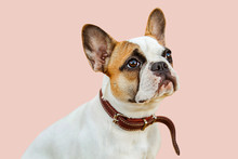 Serious French Bulldog On An I...