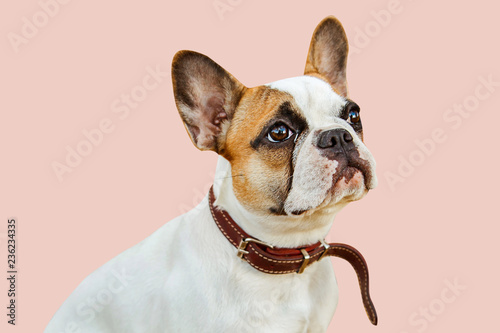Fototapeta serious french bulldog on an isolated background looking into the camera