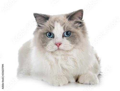 Canvas-taulu ragdoll cat in studio