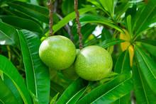 Suicide Tree, Pong-pong, Othalanga