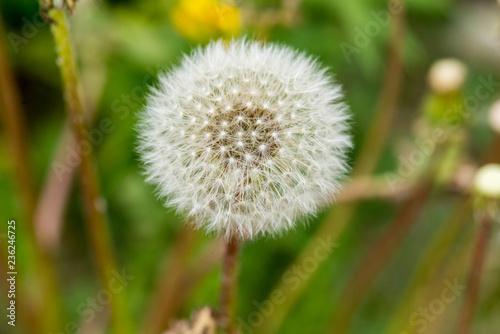 Photo  Full Dandelion in Bloom