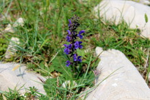 Meadow Sage Or Salvia Pratensis Or Meadow Clary Herbaceous Perennial Plant With Blue To Dark Violet Flowers Surrounded With Uncut Grass, Other Small Green Vegetation And Large Rocks On Warm Sunny Summ