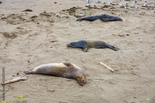 male elephant seals at a meeting place, beach of San Simeon
